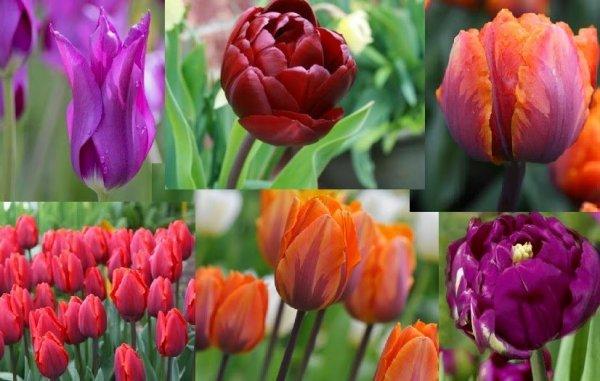 tulipán montázs1